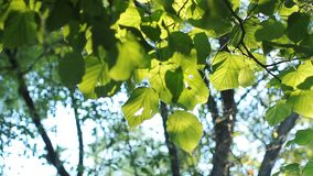 Bright green leaves on a tree, lit by the sun. Sunset in the summer park stock video footage