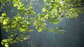 Bright green leaves on a tree, lit by the sun. Sunset in the summer park.  stock video footage
