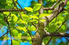 Bright green leaves on the tree. Selective focus Royalty Free Stock Image