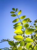 Bright Shadowy Green Leafs and Blue Sky. These bright green leaves were captured at the perfect timing with the bright sun piercing through them stock photo