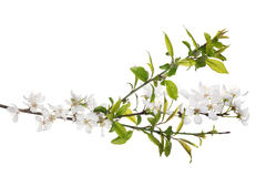Bright green leaves and white blooms on spring tree. Cherry tree flowers isolated on white background royalty free stock image