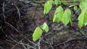 Bright Green Leaves moving gently. Bright green leaves in a wooded area moving gently in the breeze in a wooded area stock video
