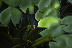 Bright green lilly Stock Photography