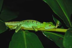 Bright Green Lizard Clings to Branch at Night. Vivid green lizard in the Costa Rica jungle rests on a limb at night stock photography