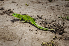 Bright green lizard close-up on ground Stock Images