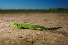 Bright green lizard close-up on ground Stock Photography