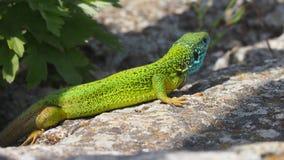 Bright green lizard on stone Stock Photo