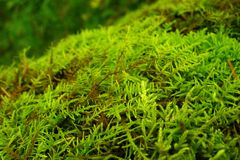 Bright green lush moss close up growing on the ground in the forest, small vegetation. Bright furry green stock photo