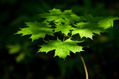 Bright green maple leaves in the sunlight. Contrast dark background. Sunny bright day. Park, forest royalty free stock photo