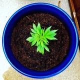 Marijuana plant. Bright green marijuana seedling plant in a contrasting blue pot weed pot royalty free stock images