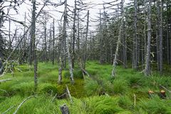 A bright green marsh and dead trees on it. stock image
