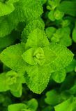 Bright green mint leaves, in the garden. stock photos
