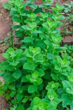Bright green mint leaves, in the garden royalty free stock photography