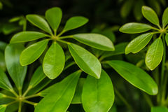 Bright green Monstera plant leaves closeup view. Bright green Monstera plant leaves closeup  view Stock Photos