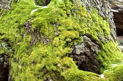 Bright green moss. On tree trunk royalty free stock photos