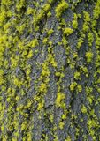 Bright Green Moss Clings to Bark of Tree Royalty Free Stock Images