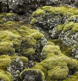 Bright green moss and gray lichen covered basalt or volcanic rock. In Iceland stock image