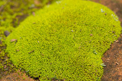 Bright green moss growing on sandstone. Bright green moss growing on red sandstone Royalty Free Stock Photography