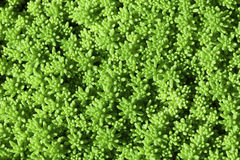 Bright green moss macro photo Stock Photography