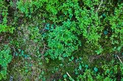 Bright green moss macro shot Stock Photography