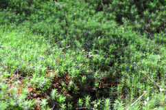 Bright green moss macro shot Stock Photos
