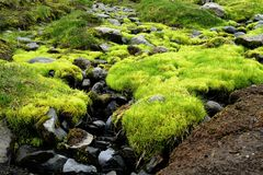 Bright green moss seen on Fimmvörduhals hiking trail, Iceland royalty free stock photo