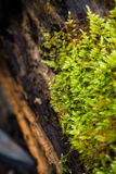 Bright green moss. Green moss on tree trunk Stock Photo