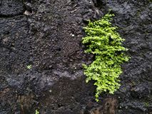 Bright green moss on a wet wall, mossy wall texture or background stock photography