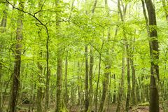 Bright green native forest. Fresh bright green broad leaf trees native forest in early summer Stock Images