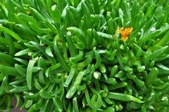 Green Needle Plant Stock Photos