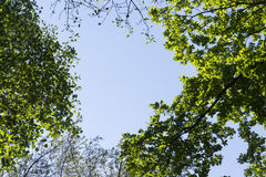 Bright green new spring foliage growing on high branches treetops of verdant forest with clear blue sky Royalty Free Stock Image