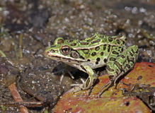Bright Green Northern Leopard Frog royalty free stock photos
