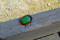 Bright Green and Orange Beetle Royalty Free Stock Photos