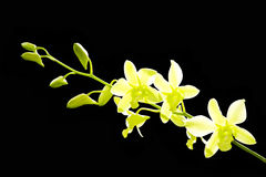 Bright green Orchid Stock Photography