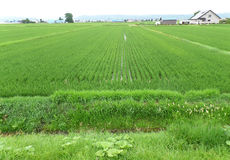 Bright Green Paddy Field in a small village, Hokkaido Royalty Free Stock Photo