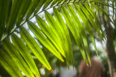 Bright green palm leaves, Kew Gardens, London. This image shows some tropical palm leaves at a greenhouse in Kew Gardens, London. It was taken on a sunny day in Royalty Free Stock Images