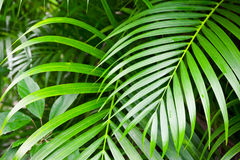 Bright green palm tree leaves, tropical nature Royalty Free Stock Photography