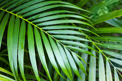 Bright green palm tree leaves, tropical nature Stock Photos