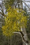 Bright green parasitic plant on birch branches stock photo