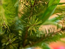 Bright green pine branches closeup royalty free stock photo
