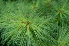 Bright Green Pine Needles in detail. A background for Christmas of green pine needles in close up detail Stock Photos