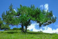 Bright green pine tree on a blue sky Royalty Free Stock Photo