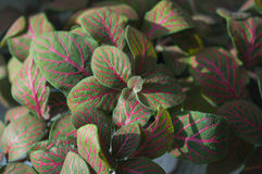 Bright green-and-pink foliage of nerve-plant Stock Photography