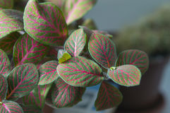 Bright green-and-pink leaves of nerve-plant fittonia verschaffeltii Royalty Free Stock Photography