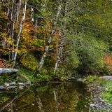 Bright green, and yellow fall colors hang over a peaceful calm creek in the Hoh Rain Forest stock images