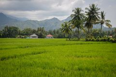Bright green rice field with coconut trees and village houses against the backdrop of the mountains. Indonesia, Sumatra. Island stock photography