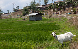 Bright green rice fields with a goat on Flores island, Indonesia royalty free stock photography