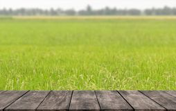 Bright green rice fields in the hot summer season in the tropical with wooden shelves where you can place the show products.  royalty free stock images