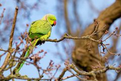 A Bright Green Ring Necked Parakeet in a Tree in London, England stock image