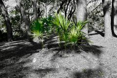 Scrub Palmettos in Southern Garden. Bright green scrub palmetto plant commonly used featured in southern gardens and landscaping stock images